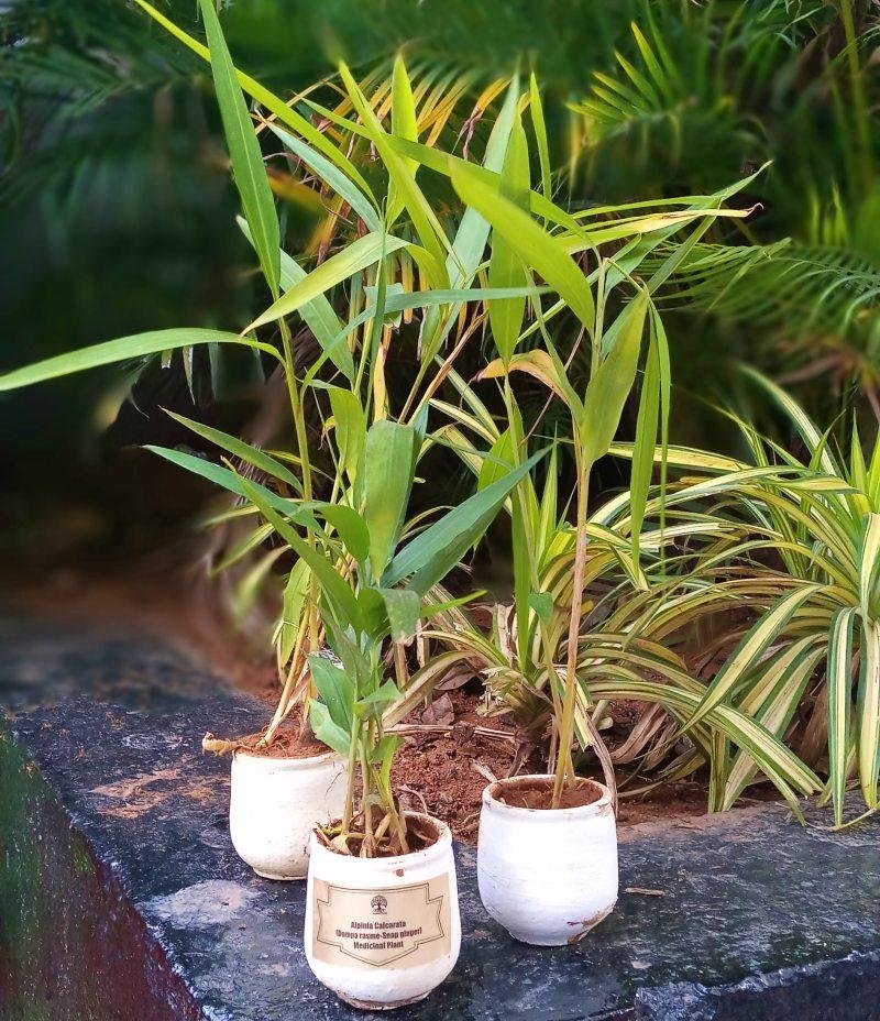Alpinia calcarata rhizomes snap ginger